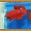 (ขายแล้วครับ)ปลากัดครีบสั้น - Halfmoon Plakats SUPER RED thumbnail 1