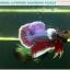 """(ขายแล้วครับ)""""คัดเกรด""""ปลากัดครีบสั้นหูช้าง-Halfmoon Plakats Big Ear Lavender thumbnail 4"""