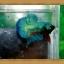 ปลากัดครีบสั้น-Super Green Halfmoon Plakats thumbnail 1