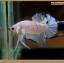 ปลากัดครีบสั้นหางพระจันทร์ครึ่งดวง - Halfmoon Plakat Marble thumbnail 3