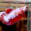 ปลากัดคัดเกรดครีบสั้นตัวเมีย - Halfmoon Plakad Fancy Dragon Premium Quality Grade thumbnail 1