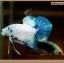 ปลากัดครีบสั้น-Halfmoon Plakat Fancy Marble thumbnail 5