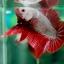 (ขายแล้วครับ)ปลากัดครีบสั้น - Halfmoon Plakats RED DRAGON3 thumbnail 2