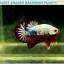 (ขายแล้วครับ)ปลากัดครีบสั้น-Halfmoon Plakat Fancy Dragon Good Grade thumbnail 1
