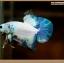 ปลากัดครีบสั้น-Halfmoon Plakat Fancy Marble thumbnail 4