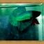 (ขายแล้วครับ)ปลากัดครีบสั้น-Super Green Halfmoon Plakats thumbnail 6