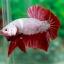 (ขายแล้วครับ)ปลากัดครีบสั้น - Halfmoon Plakats RED DRAGON3 thumbnail 6