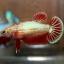 ปลากัดคัดเกรดครีบสั้นตัวเมีย - Halfmoon Plakad Fancy Dragon Premium Quality Grade thumbnail 2