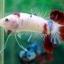 """(ขายแล้วครับ)NICE LOVEBETTAFISH KOI """"คัดเกรด""""ปลากัดครีบสั้น-Halfmoon Plakats thumbnail 3"""