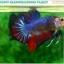 """(ขายแล้วครับ)""""คัดเกรด""""ปลากัดครีบสั้น-Halfmoon Plakats Fancy Dragon Quality Grade thumbnail 1"""