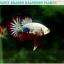 (ขายแล้วครับ)ปลากัดครีบสั้น-Halfmoon Plakat Fancy Dragon Good Grade thumbnail 6