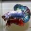 ปลากัดคัดเกรดครีบสั้น - Halfmoon Plakad Fancy Dragon Premium Quality Grade thumbnail 2