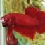 ปลากัดครีบสั้น - Halfmoon Plakats SuperRed100 thumbnail 2