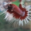 (ขายแล้วครับ)ปลากัดครีบยาวหางมงกุฏ-Crowntails Fancy thumbnail 6