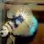 ปลากัดคัดเกรดครีบสั้น - Halfmoon Plakad Fancy Yellow Dragon Premium Quality Grade thumbnail 2