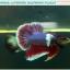 """(ขายแล้วครับ)""""คัดเกรด""""ปลากัดครีบสั้นหูช้าง-Halfmoon Plakats Big Ear Lavender thumbnail 8"""